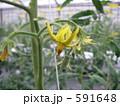 トマト花芽 591648