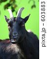 ヤギ 山羊 黒ヤギの写真 603883