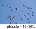 鳩の空中ショー 614951