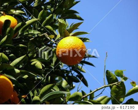 柑橘の木 617190