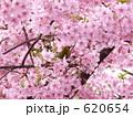 カワヅザクラ メジロ 河津桜の写真 620654