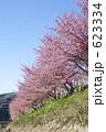 桜並木 河津桜 カワヅザクラの写真 623334