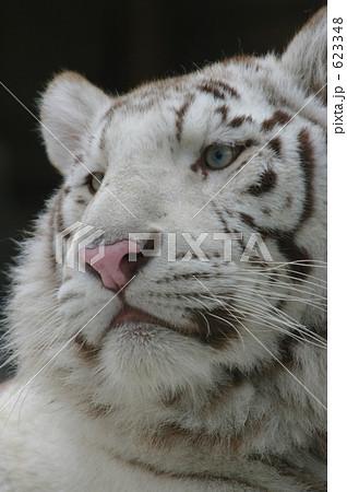 ホワイトタイガー(幸運を呼ぶと言われる白い虎) 623348