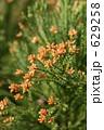 杉の花粉袋 629258
