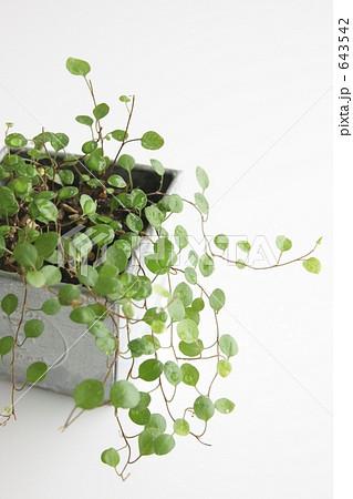 小さい葉の観葉植物 643542