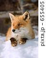 キツネ キタキツネ きたきつねの写真 655405