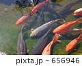 鯉の群れ 656946