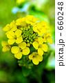 セイヨウカラシナ 菜の花 花の写真 660248
