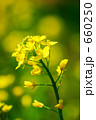 セイヨウカラシナ 菜の花 花の写真 660250