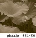 泥水に染まらない蓮の花 661459