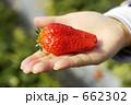 いちご狩り いちご イチゴの写真 662302