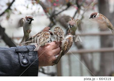 雀の餌付けの写真素材 [664319] ...