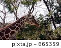 キリン 麒麟 動物の写真 665359