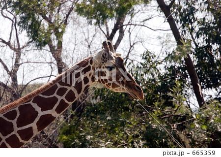 キリン(横からの写真) 665359