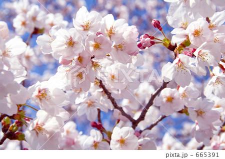 ソメイヨシノ桜 ズーム 665391