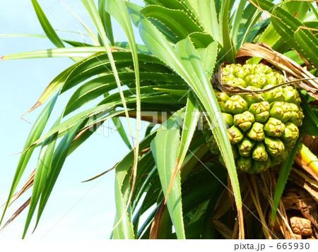 喜界島のパイナップルのようなアダンの実とトゲのある葉 665930