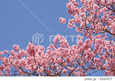 サクラ 満開の陽光桜と空 668407