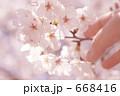 指 花 桜の写真 668416