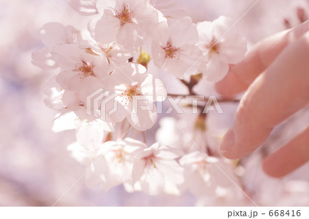 サクラに触れる女性の指 ソメイヨシノ 668416