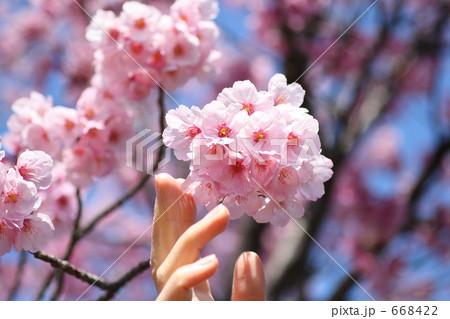 サクラに触れる女性の指 ソメイヨシノ 668422