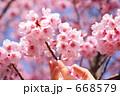 花 桜 ソメイヨシノの写真 668579