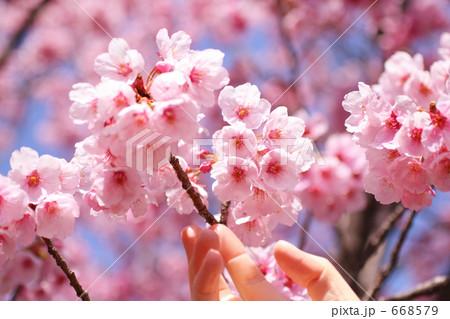 サクラに触れる女性の指 ソメイヨシノ 668579