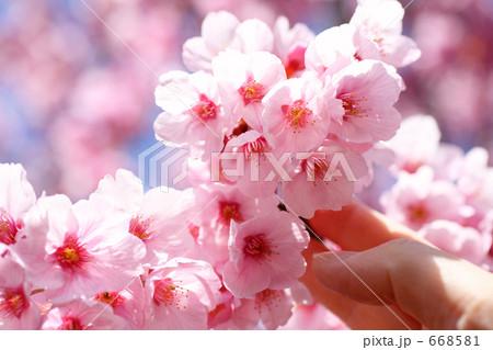 サクラに触れる女性の指 ソメイヨシノ 668581
