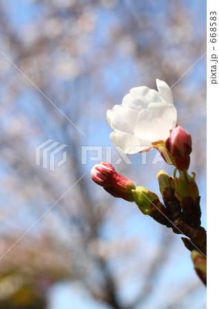 サクラ 幹から吹き出る新芽の生命力 668583