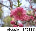 花桃 672335