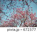 青空の花桃 672377