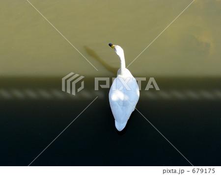 川面の白鳥 679175