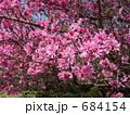 桃(品種名:菊) 684154