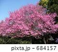桃(品種名:菊) 684157