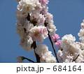 桃(品種名:源平) 684164