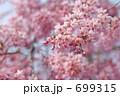 紅枝垂れ ベニシダレ ベニシダレザクラの写真 699315