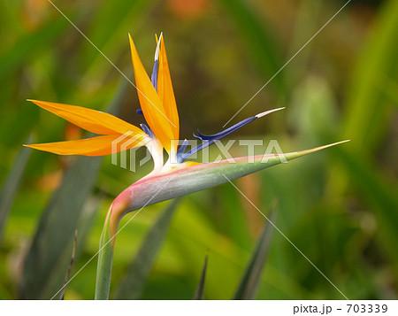 極楽花鳥の花 703339