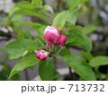 りんご富士の蕾 713732