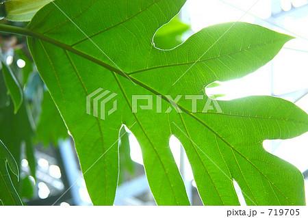 パンの木の葉っぱの写真素材 [71...
