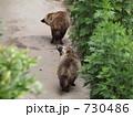 ホンドタヌキ タヌキ 狸の写真 730486