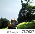 柴犬、公園にて 737627
