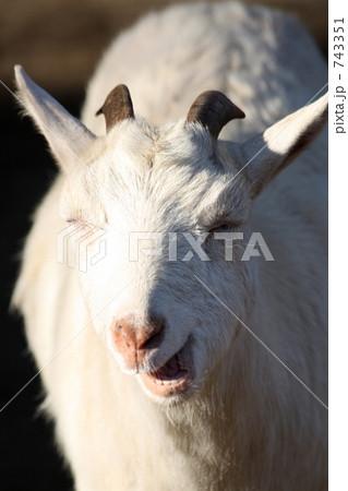笑うヤギ 743351