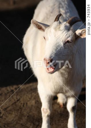 たたずむヤギ 743934