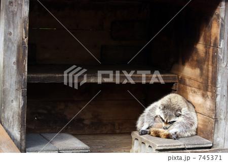 アライグマの居眠り 745371