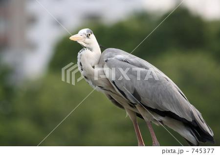 アオサギ-鳥 745377