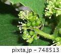 葡萄の花 748513