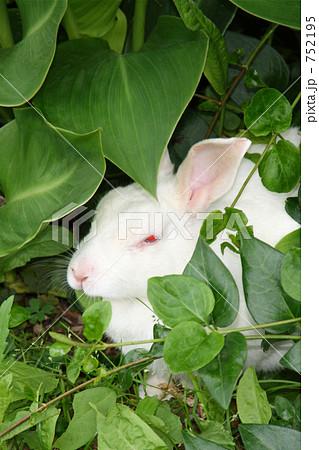 食事中だよ!かわいい白ウサギ! 干支 十二支「卯」 752195