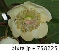 キウイフルーツの雌花 758225