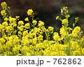 菜の花 762862