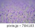 ラベンダー濃紫早咲 784183