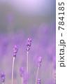 ラベンダー濃紫早咲 784185